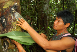 Maijuna native woodsman harvesting copal resin lump at Nueva Vida - Photo by Campbell Plowden/CACE