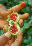 Achiote pod with oily red seeds. Photo by Campbell Plowden/CACE