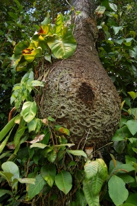 Trigona stingless bee nest at Jenaro Herrera, Peru. Photo by Campbell Plowden/Center for Amazon Community Ecology