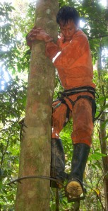 "Bora man Brito climbing copal tree with ""pato de loro"" spikes. Photo by Campbell Plowden/Center for Amazon Community Ecology"