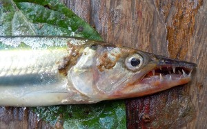 Cachorro fish near Brillo Nuevo. Photo by Campbell Plowden/Center for Amazon Community Ecology
