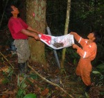 Catching resin lumps being harvested from copal tree. Photo by Campbell Plowden/Center for Amazon Community Ecology