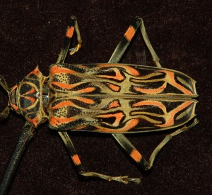 Harlequin beetle. Photo by Campbell Plowden/Center for Amazon Community Ecology