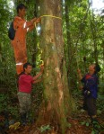 Bora men measuring copal tree with buttress roots. Photo by Campbell Plowden/Center for Amazon Community Ecology
