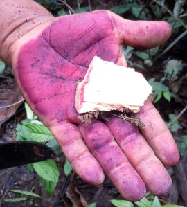 Huacamayo caspi bark and purple stain from pelejo caspi. Photo by Campbell Plowden/Center for Amazon Community Ecology