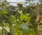 Sacha inchi plants on wire at Brillo Nuevo. Photo by Campbell Plowden/CACE