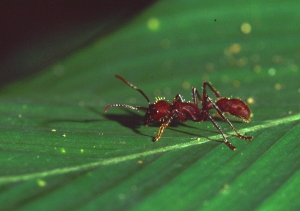 Paraponera (tucandeira/isula) ant in Brazil. Photo by Campbell Plowden