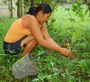 Alida Soria gathering guisador dye plant