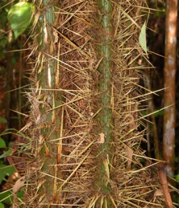 Chambira palm spiny stems. Photo by C. Plowden/CACE