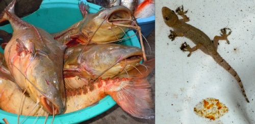 Catfish in market & gecko in toilet in Pebas hotel. Photos by C. Plowden/CACE