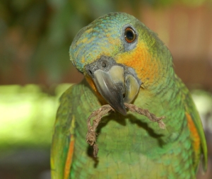 Green parrot at Chino with string. Photo by C. Plowden/CACE