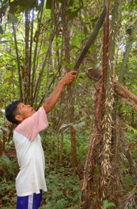 Lucio harvesting chambira cogollo.  Photo by C. Plowden/CACE