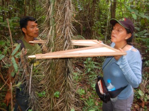 Measuring chambira diameter with plywood wedge tool. Photo by C. Plowden/CACE