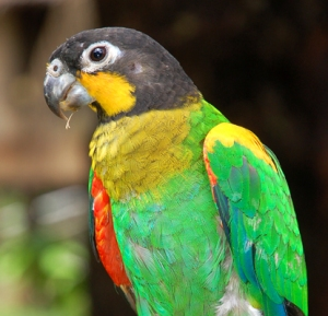 Multi-colored parrot at Chino. Photo by .C. Plowden/CACE