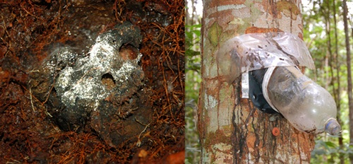 Orchid bee nest & copal resin weevil trap at Jenaro Herrera montage. Photos by C. Plowden/CACE