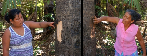 Collecting bark from ovos tree and applying mud to wound. Photos by C. Plowden/CACE
