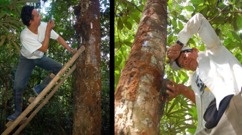 Photographing and harvesting resin lump at Jenaro Herrera. Photos by C. Plowden/CACE