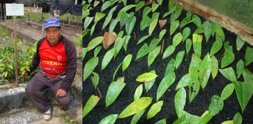 Rosewood seedlings and scions at Jenaro Herrera. Photos by C. Plowden/CACE