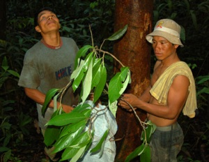 Teobaldo and Juan bagging canela moena leaves