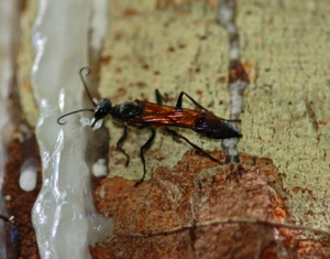 Wasp collecting resin on copal tree at Jenaro Herrera. Photo by C. Plowden/CACE