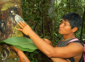 Maijuna man harvesting copal resin near Nueva Vida. Photo by C. Plowden/CACE