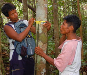 Bora men measuring copal tree at Brillo Nuevo. ©Photo by Campbell Plowden/Center for Amazon Community Ecology