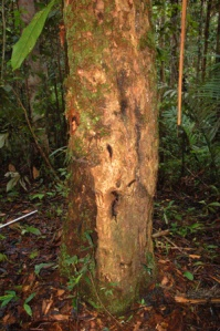 Rosewood tree near Ancon Colonia. © Campbell Plowden/Center for Amazon Community Ecology