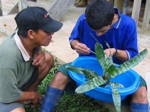 Project Amazonas research on bromeliad. © Photo by Project Amazonas