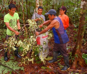 Putting rosewood leaves in bag at Brillo Nuevo. © Photo by Campbell Plowden/Center for Amazon Community Ecology
