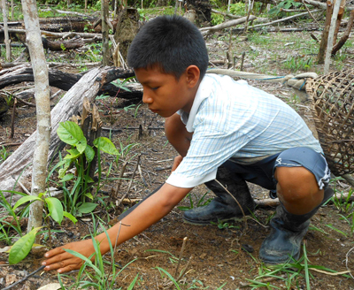 Bora boy tending rosewood seedling. Photo by Yully Rojas Reategui/Center for Amazon Community Ecology