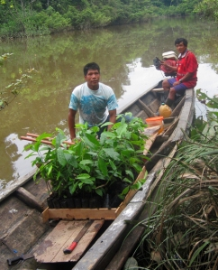 Carrying rosewood seedlings from Brillo Nuevo to family field.  Photo by Italo Melendez/Center for Amazon Community Ecology