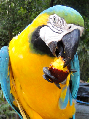 Blue and gold macaw at Quistococha zoo, Iquitos. © Photo by Amrit Moore/Center for Amazon Community Ecology