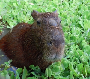 Capybara at Quistocoha zoo. © Photo by Campbell Plowden/Center for Amazon Community Ecology