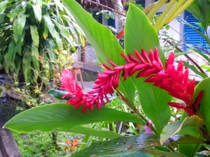 Red ginger flower at La Pascana, Iquitos, Peru. © Photo by Campbell Plowden/Center for Amazon Community Ecology