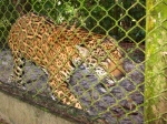 Jaguar in Quistococha zoo, Iquitos. © Photo by Campbell Plowden/Center for Amazon Community Ecology