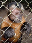 Capuchin monkey at Quistococha zoo, Iquitos. © Photo by Campbell Plowden/Center for Amazon Community Ecology