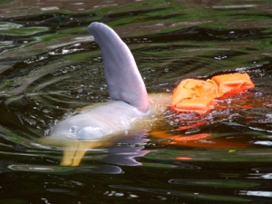 River dolphin at Quistococha zoo, Iquitos. © Photo by Campbell Plowden/Center for Amazon Community Ecology