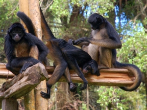 Spider monkeys at Quistococha zoo, Iquitos. © Photo by Campbell Plowden/Center for Amazon Community Ecology