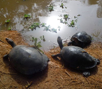 Turtles at Quistacoca zoo, Iquitos. © Photo by Campbell Plowden/Center for Amazon Community Ecology
