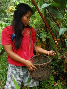 Bora native artisan harvesting mishquipanga fruits. Photo by Campbell Plowden/Center for Amazon Community Ecology