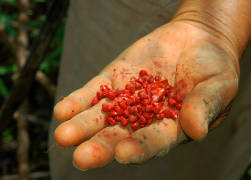 Achiote seeds. Photo by Campbell Plowden/Center for Amazon Community Ecology