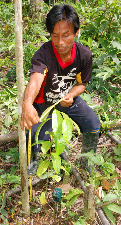 Bora man measuring rosewood seedling. Photo by Campbell Plowden/Center for Amazon Community Ecology