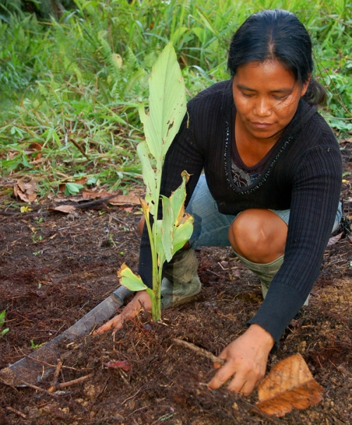 Claudel planting guisador. Photo by Campbell Plowden/Center for Amazon Community Ecology
