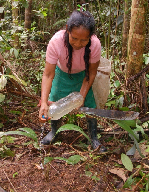 Hermelinda Lopez watering chambira seedling. Photo by Campbell Plowden/Center for Amazon Community Ecology