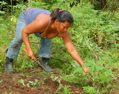Lidaberna Panduro harvesting yuca. Photo by Campbell Plowden/Center for Amazon Community Ecology