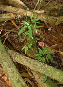 Sisa vine with leaves. Photo by Campbell Plowden/Center for Amazon Community Ecology