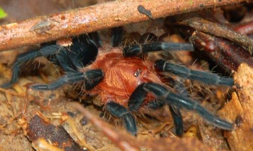 Cyriocosmus spp. tarantula at chambira planting.  ID by Mark Pennell - British Tarantula Society. Photo by Campbell Plowden/Center for Amazon Community Ecology
