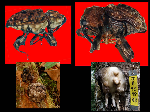 Two weevils and copal resin lumps. Photos by Campbell Plowden/Center for Amazon Community Ecology