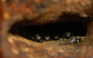 Trigona stingless bees at nest shelf entrance. Photo by Campbell Plowden/Center for Amazon Community Ecology