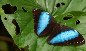 Blue morpho butterfly at Jenaro Herrera. Photo by Campbell Plowden/Center for Amazon Community Ecology